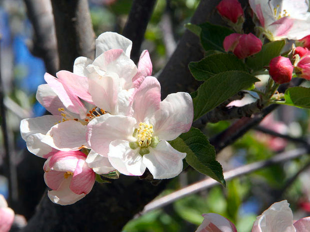 pale pink flowers of a red delicious apple tree arboradvisor of colorado