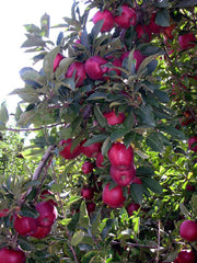 apples hanging from a red delicious apple tree arboradvisor of colorado