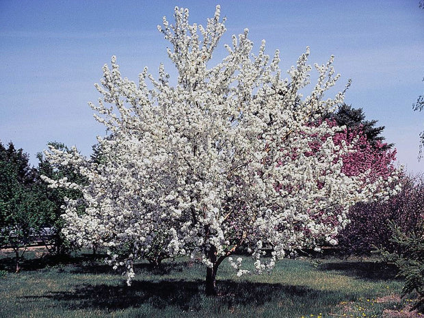 flowering red delicious apple tree arboradvisor of colorado