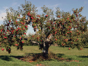 red delicious apple tree arboradvisor of colorado