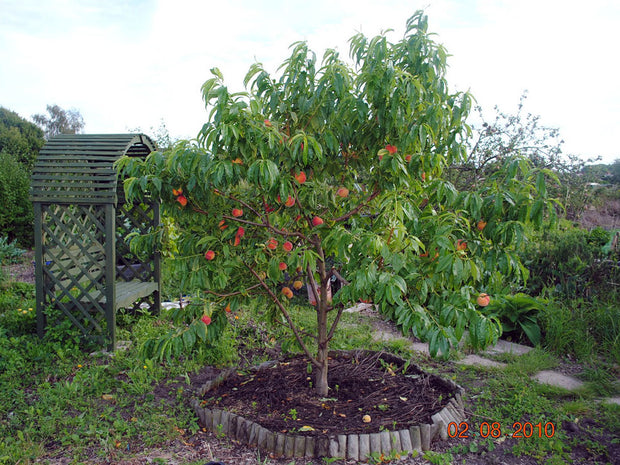 reliance peach tree arboradvisor of colorado