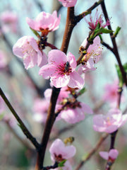 pink flowers of a reliance peach tree arboradvisor of colorado