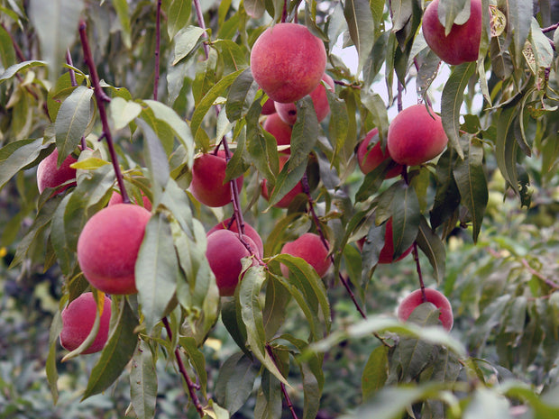 peaches hanging from a reliance peach tree arboradvisor of colorado