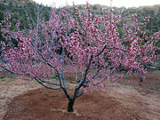flowering reliance peach tree arboradvisor of colorado