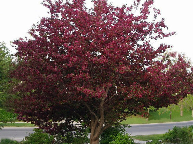 flowering royal raindrops crabapple tree arboradvisor of colorado
