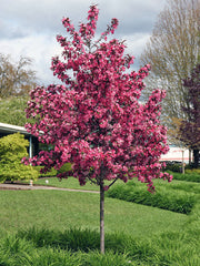 juvenile flowering royal raindrops crabapple tree arboradvisor of colorado