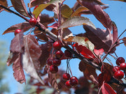 leaves and fruit of a royal raindrops crabapple tree arboradvisor of colorado
