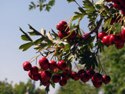 leaves and fruit of a russian hawthorn tree arboradvisor of colorado
