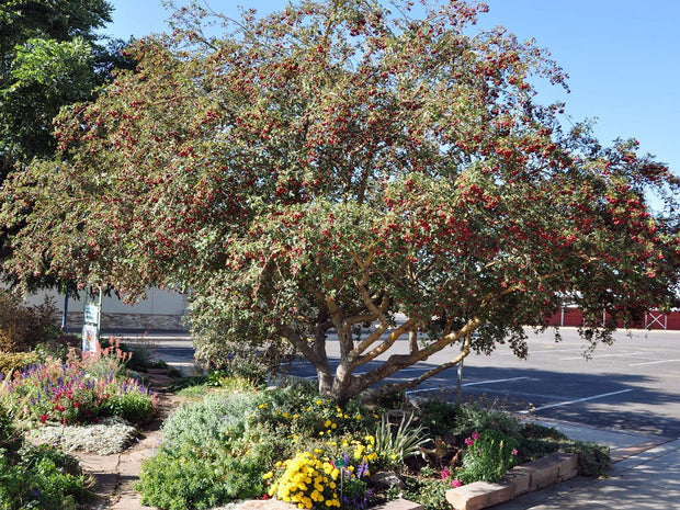 russian hawthorn tree arboradvisor of colorado