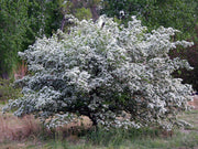 flowering russian hawthorn tree arboradvisor of colorado