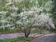flowering saskatoon serviceberry tree arboradvisor of colorado