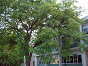 shademaster honeylocust tree arboradvisor colorado