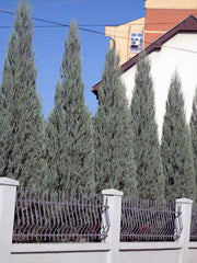 hedge of skyrocket juniper trees arboradvisor of colorado