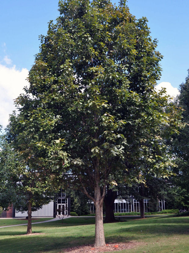 swamp white oak tree arboradvisor of colorado
