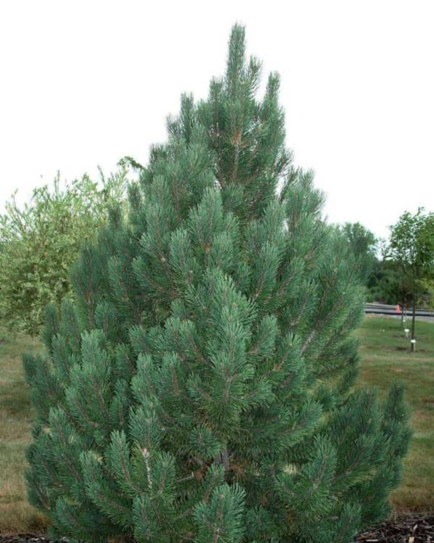 Tannenbaum Pine (Semi Dwarf) tree arboradvisor of colorado