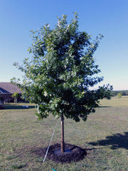 juvenile texas red oak tree arboradvisor of colorado