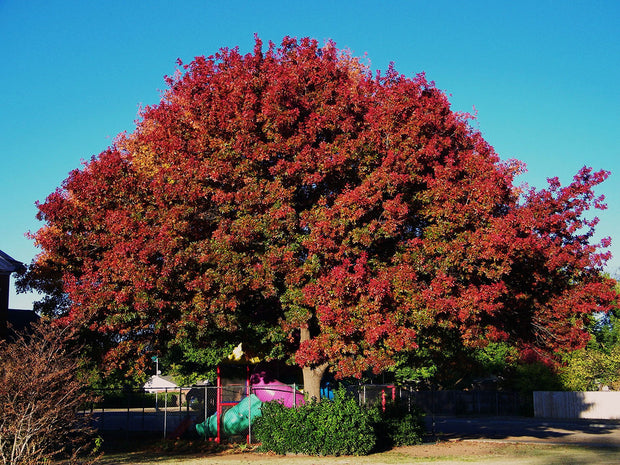 texas red oak tree arboradvisor of colorado