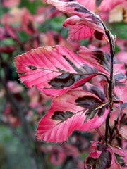 pink and purple leaves of a tricolor beech tree from arboradvisor of colorado