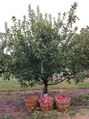 yellow golden delicious apple tree arboradvisor of colorado