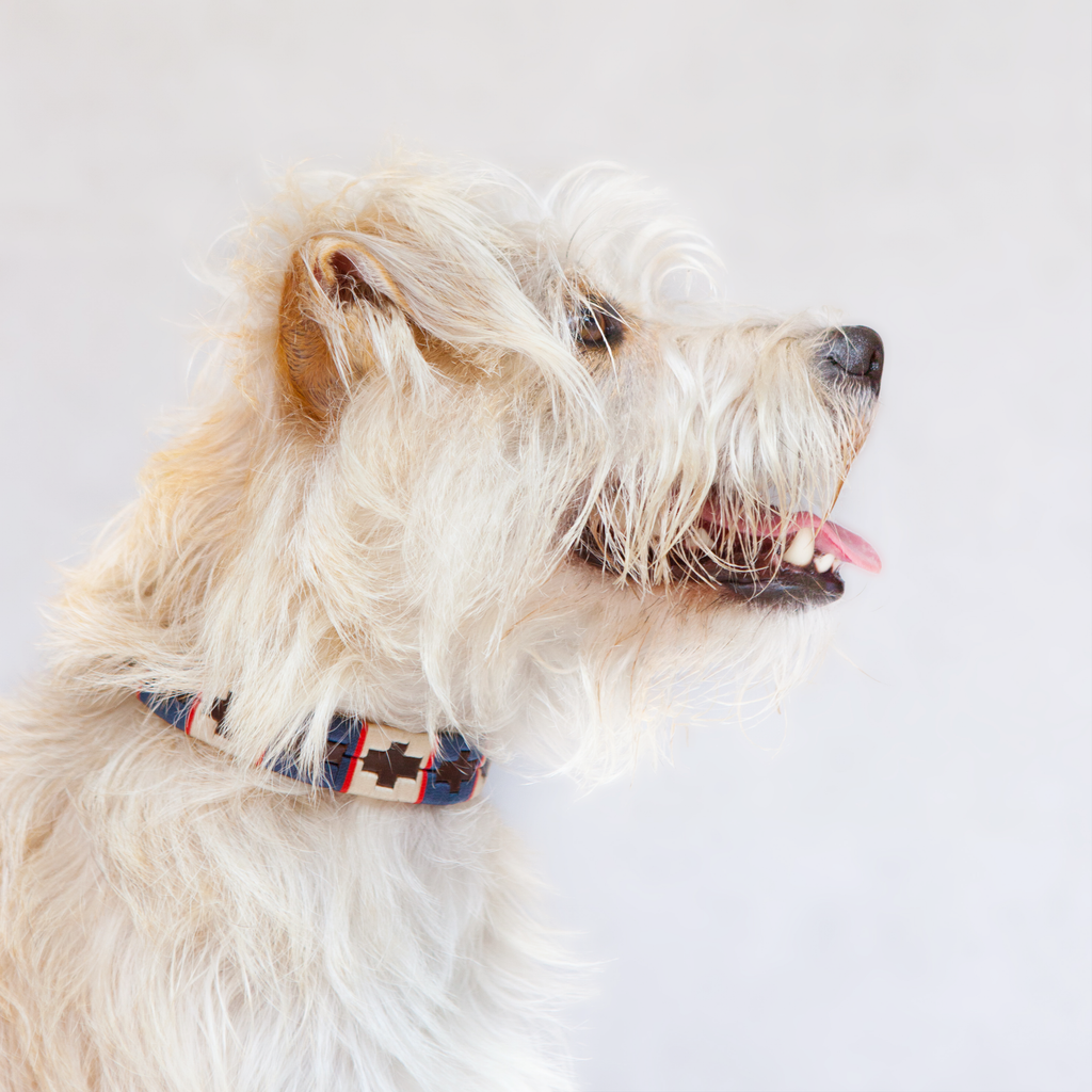 Good Dog Peanut Collar in brown leather blue red cream on small dog