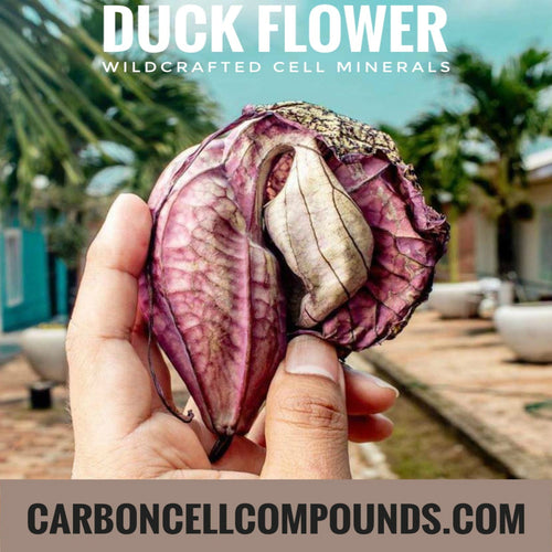 🌿THE DUCK FLOWER PLANT (Country Origin. Jamaica). Seasonal Stock Shortly Expected. (PRE-BOOKINGS ONGOING). Dispatches From 01 July 2020