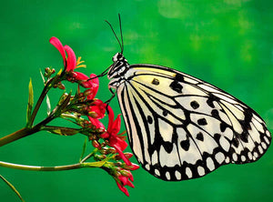 Papilio Xuthus DIY Diamond Painting Kit