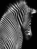 Load image into Gallery viewer, Zebra Goes into the Darkness DIY Diamond Painting Kit