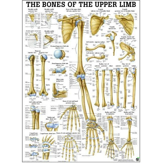 Anatomie Poster Botten Bovenlichaam