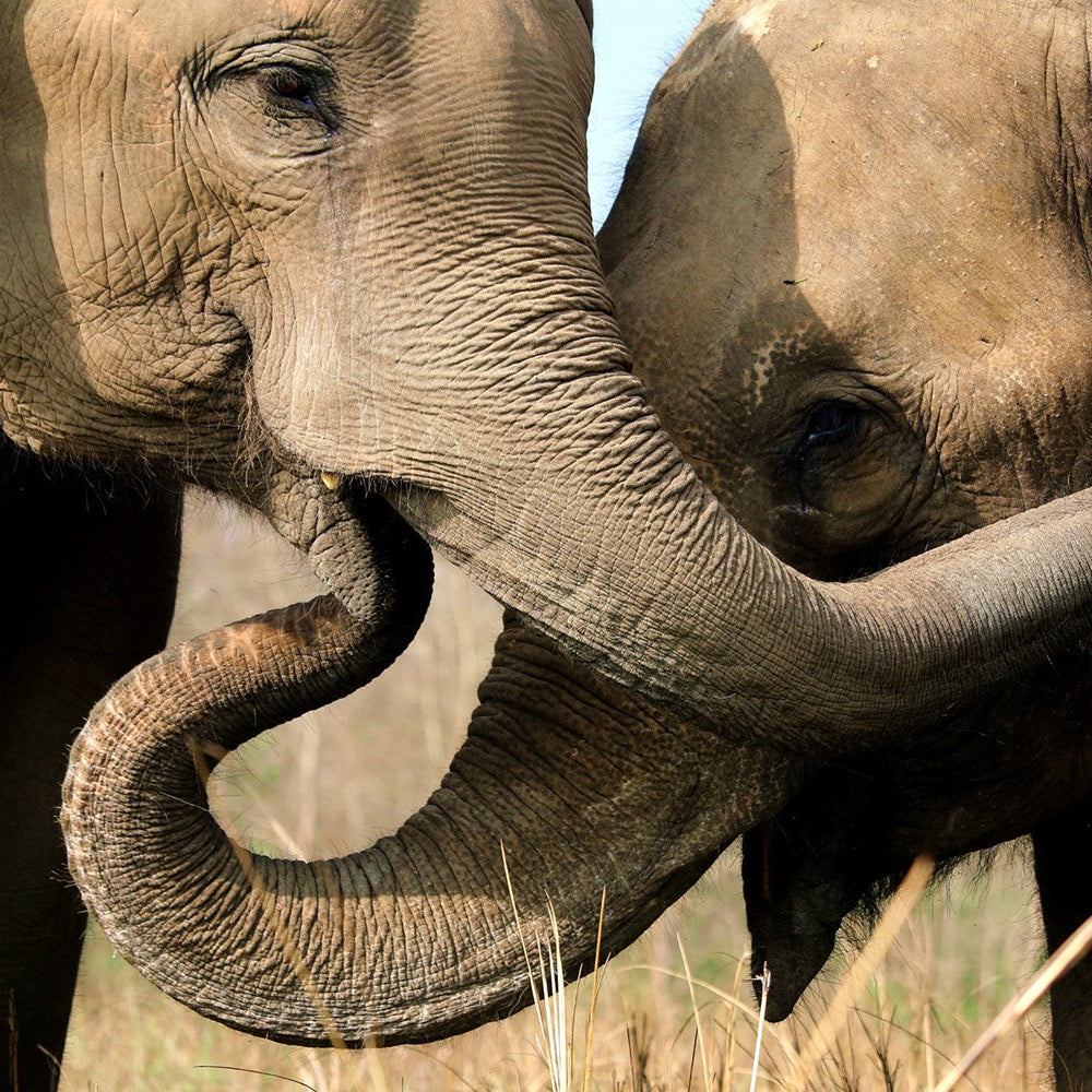 Wild and Grey Elephants