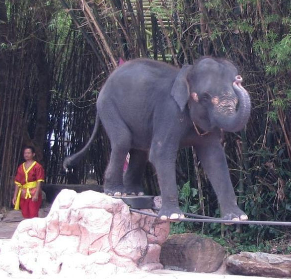 Wild and Grey Elephant Tight Rope Cruelty Thailand