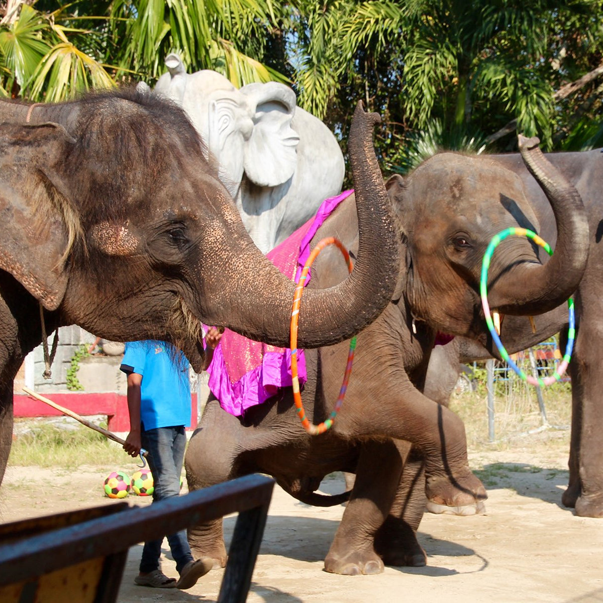 Wild and Grey Circus Cruelty Thailand