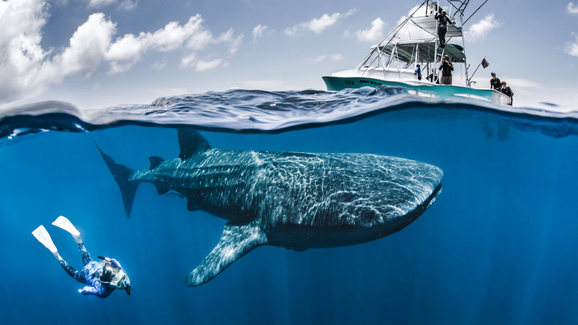 Swim with Whale Sharks in the Sparkling Waters of the Caribbean