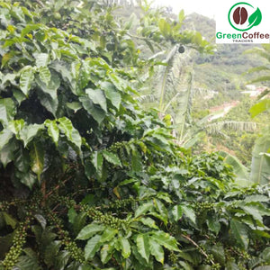 Costa Rican Green Coffee Plantation