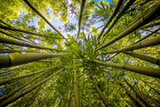 Bamboo Sky, Maui Hawaii, Color me Maui