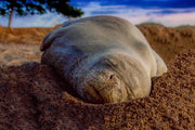 Good Night Sleep Tight, Hawaiian Monk Seal, Maui, Hawaii, Color me Maui