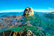 Green Sea Turtle swimming in the ocean in Maui Hawaii with head up out of the water - Color Me Maui