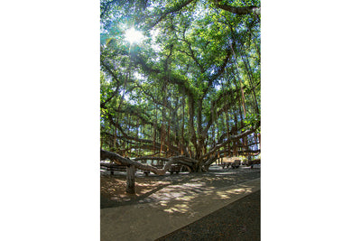 Her Majesty, Lahaina Banyan Tree, Maui Hawaii, Color me Maui