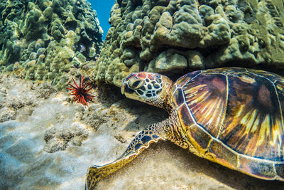 Pretty Girl, Green Sea Turtle, Maui, Hawaii, Color me Maui