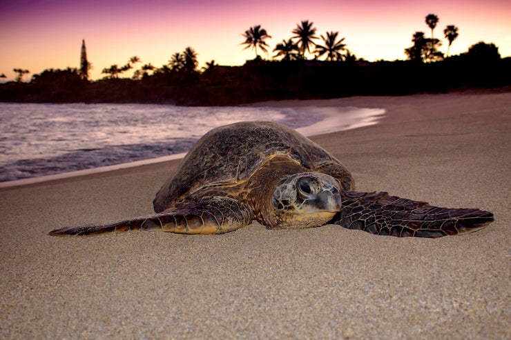 Honu Good Morning