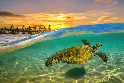 Sunset Shadow Glider, Wailea, Green Sea Turtle, Maui Hawaii, Color Me Maui