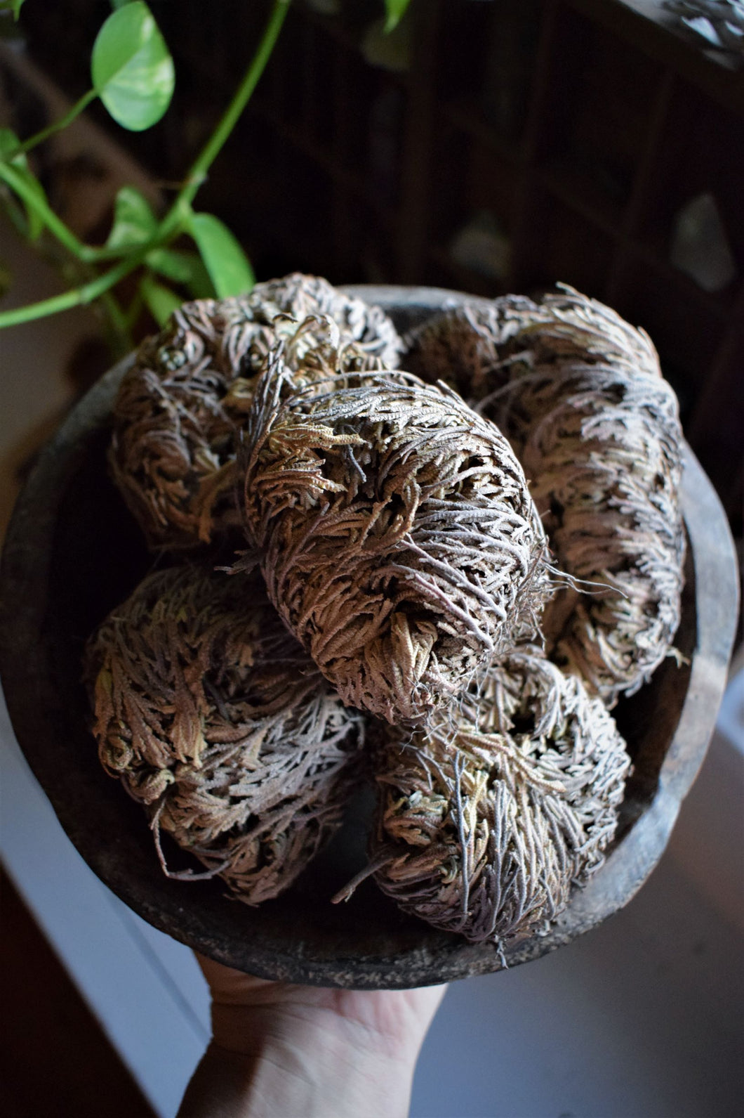 ROSE OF JERICHO | THE RESURRECTION FLOWER | REBIRTH | AWAKENING | PLANT MAGICK