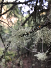 Load image into Gallery viewer, WILD USNEA TINCTURE | LUNGS OF THE FOREST