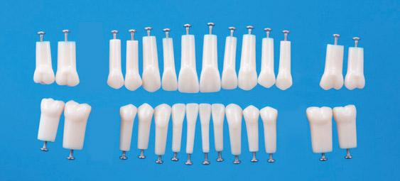 A5AN-200 – Individual Permanent Replacement Teeth