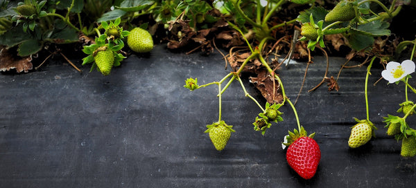 Organic Strawberries Farming at Home