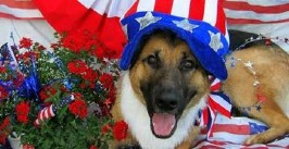 German Shepherd wearing Fourth of July themed clothing.