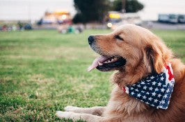 A happy golden retriever relaxes outside wearing an American Flag bandana