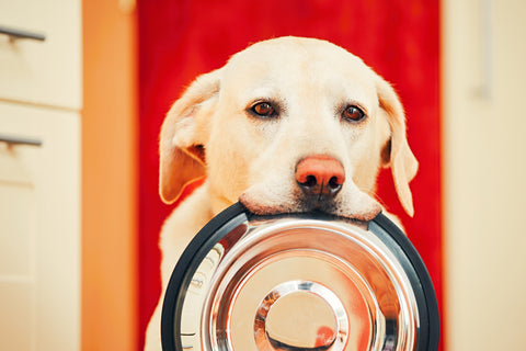 golden retriver holding bowl