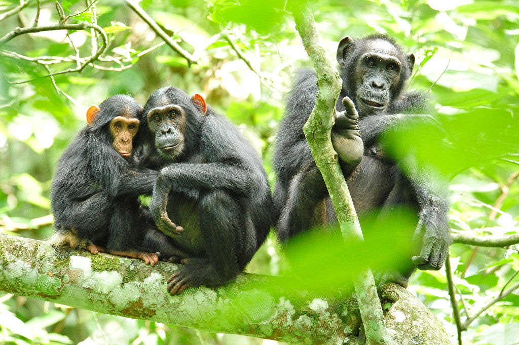 Julie Larsen Maher_9795_Chimpanzees in wild_UGA_06 26 10
