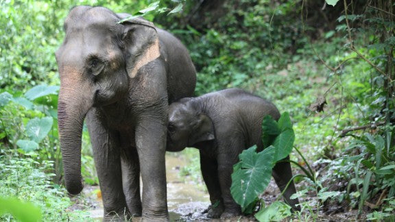 The Campaign to Save Baby Kit and the Future of Elephant Conservation in Laos