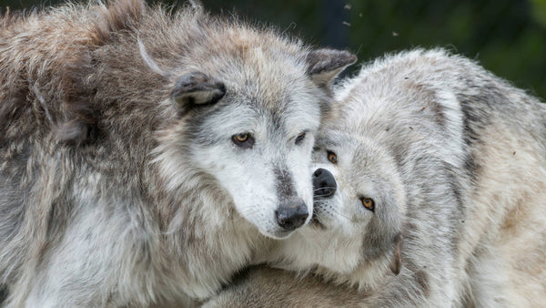 Major Setback for Wolves in Idaho & How You Can Help